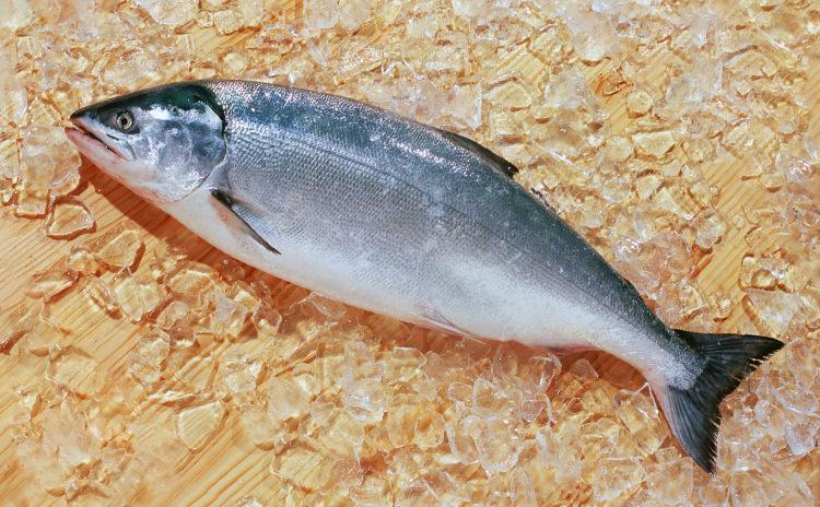沖獲り紅鮭