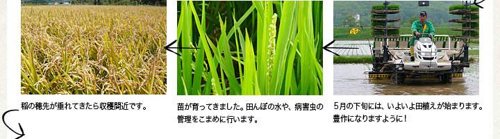 5月の下旬には、いよいよ田植えが始まります。方策になりますように! 苗が育ってきました。田んぼの水や、病害虫の管理をこまめに行います。 稲の穂先が垂れてきたら収穫間近です。